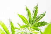 Marijuana Leaves On Light, Hemp Marijuana Cbd, Indoor Grow Cannabis Indica, White Background Cultiva poster