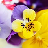 pansies background.