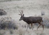 picture of mule deer  - This Buck was one of maney competing for does in the rut - JPG