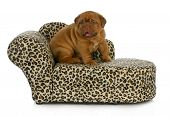 puppy on the furniture - dogue de bordeaux puppy sitting on the couch - 4 weeks old