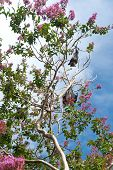picture of royal botanic gardens  - This image shows a Flying Fox/Fruit Bat within Sydney