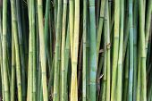 stock photo of royal botanic gardens  - This image shows bamboo within Sydney - JPG