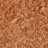 Постер, плакат: Метасеквойя листья фон Метасеквойя дерево иглы листья охватывающий земли осенью