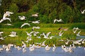 stock photo of flock seagulls  - Large flock of gulls at the river bank - JPG