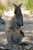 pic of wallaby  - Bennett Wallaby with a joey in its pouch - JPG