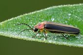 picture of fireflies  - A firefly beetle resting on a dew covered dog bane leaf - JPG
