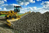 stock photo of sugar industry  - Agricultural vehicle harvesting sugar beets at sunny autumn day - JPG