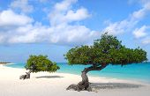 stock photo of shoreline  - Divi Dive Trees on the shoreline of Eagle Beach in Aruba - JPG