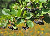 stock photo of aronia  - Black ashberry  - JPG