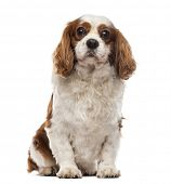 Front view of a Cavalier King Charles Spaniel sitting, looking at the camera, 6 years old, isolated