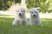 stock photo of swiss shepherd dog  - two White Swiss Shepherds puppies are playing in garden - JPG