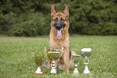 German Sheepdog With Cups Sitting On Grass