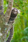 stock photo of marmosets  - Common marmoset or White - JPG