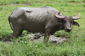 stock photo of carabao  - The Carabao or  - JPG