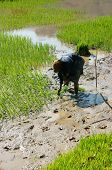 Farmer Sow Rice On Paddy Field