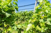 foto of hail  - Vineyard with modern system for irrigation and nets against hail.