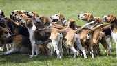 stock photo of foxhound  - A group of foxhounds ready to hunt - JPG