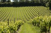 picture of dork  - Grapevines in vineyard at Dorking - JPG