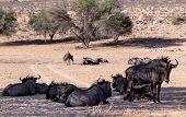 pic of wildebeest  - wild Wildebeest Gnu Kgalagadi South Africa true wildlife - JPG