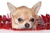 picture of chiwawa  - Chihuahua in red garlands on white background - JPG