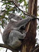 picture of eucalyptus trees  - Koala  - JPG