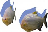 picture of piranha  - illustration with two piranha fishes isolated on white background - JPG
