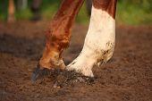 image of chestnut horse  - Close up of chestnut horse hind legs hooves - JPG