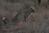 stock photo of nocturnal animal  - Leopard sitting in near darkness hunting nocturnal prey in a spotlight - JPG