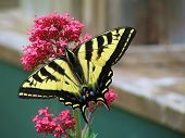 image of monarch butterfly  - A yellow butterfly on a flower - JPG