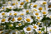 stock photo of feverfew  - Feverfew Daisy Flower   - JPG