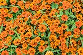 picture of zinnias  - close up zinnia orange flower and background - JPG