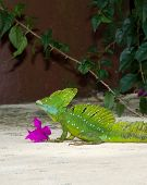stock photo of lizards  - Basilisk Lizard in Costa Rica, Jesus Christ Lizard