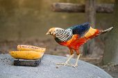 picture of pheasant  - this is beautiful golden pheasant in zoo - JPG