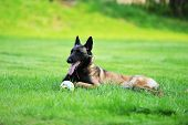 pic of belgian shepherd dogs  - Belgian malinois Dog  lies on green grass - JPG