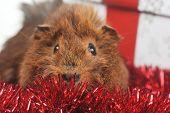 stock photo of guinea pig  - cute guinea pig and christmas ribbon close up  - JPG