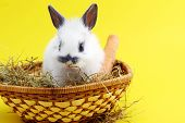 picture of midget  - cute small rabbit isolated on yellow background - JPG
