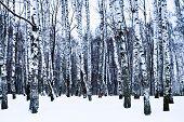picture of birchwood  - snowy birch grove in cold winter day - JPG