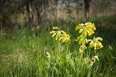 image of cowslip  - A horizontal image of wild flowers using shallow depth of field - JPG