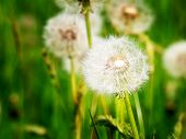 picture of wind up clock  - Dandelion blowballs - JPG