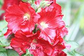 stock photo of hollyhock  - Red hollyhock flowers,closeup of red flowers blooming in the garden in summer