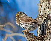 image of hedwig  - During a southern Alberta winter a diminutive Northern Pygmy - JPG