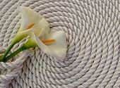 stock photo of calla  - Beautiful white Calla lily over rope and wooden table - JPG