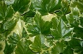 pic of ivy  - texture made of green and yellow ivy leafs - JPG