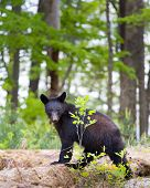image of smoky mountain  - Young black bear in the Smoky Mountains giving the photographer a menacing look - JPG
