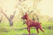 stock photo of miniature pinscher  - Photo of young miniature pinscher at outdoor in spring blossom apple tree garden on sunset - JPG