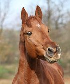 pic of chestnut horse  - Portrait of nice chestnut horse looking at you  - JPG