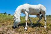 picture of horses eating  - Horse standing on a hill eating grass - JPG