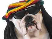 picture of dreadlocks  - funny dog with dreadlock wig on white background - JPG