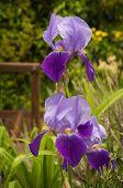picture of purple iris  - Image beautiful purple irises in a garden Northern Greece - JPG