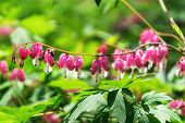 picture of lyre-flower  - Bleeding heart flowers blossoming in a mountain hill side in South Korea - JPG